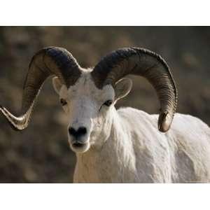 Male Dall Sheep (Ovis Dalli), Denali National Park, Alaska