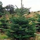 Noble Fir (abies procera) 30+EXTRA seeds. Christmas Tree