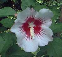 Rose of Sharon Ornamental Flower Shrub   Select Color, Nice Home