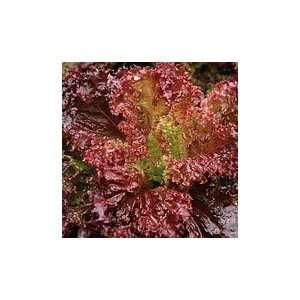 Organic Lolla Rossa Dark Crisphead Lettuce   450 Seeds