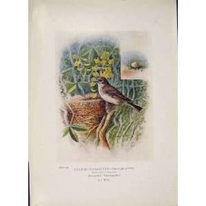 Spotted Fly Catcher Bird Egg Colour Antique Old Print