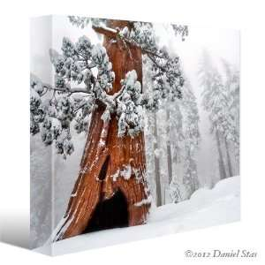 SEQUOIA GIANT TREE Winter Snow Landscape CANVAS GICLEE ART PRINT #9566