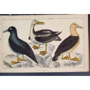 Bird Birds Duck Ducks Hand Colour Antique Print C1860: Home & Kitchen