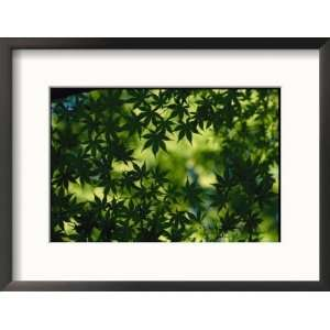 Silhouette of Japanese Maple Leaves Framed Photographic
